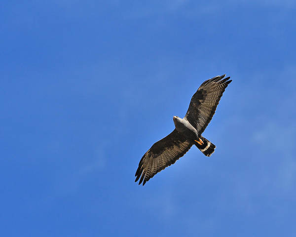 Photograph - Zone-tailed Hawk by Tony Beck
