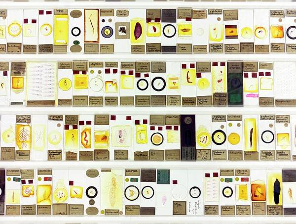 Specimen Photograph - Zoological Microscope Slides by Daniel Sambraus