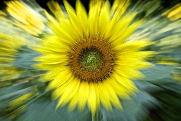 Photograph - Zoom Sunflower by Karen Saunders