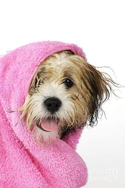 Wall Art - Photograph - Zuchon Teddy Bear Dog, Wet In Pink Towel by John Daniels