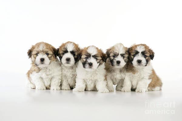 Photograph - Zuchon Teddy Bear Puppy Dogs by John Daniels