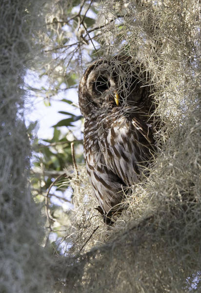 Blye Photograph -  Barred Owl Eye On You by Kenneth Blye
