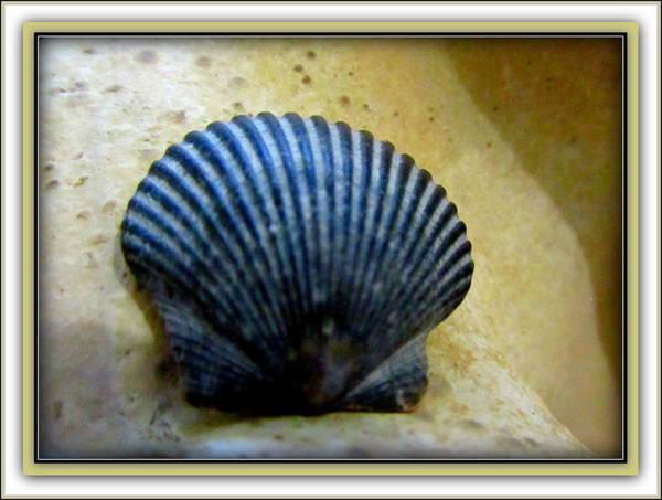 Photograph -  Blue Black Calico Scallop by Danielle  Parent