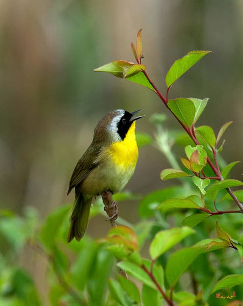 Photograph -  Common Yellowthroat Warbler Warbling Dsb006 by Gerry Gantt