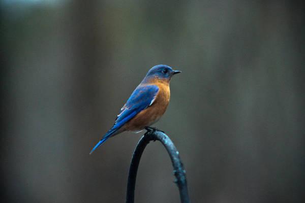 Crossville Wall Art - Photograph -  Eastern Bluebird On Perch 2 by Douglas Barnett