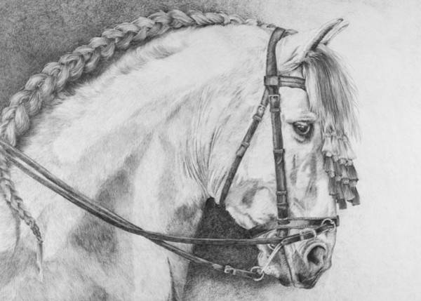 Friesian Drawing - ' Spanish Boy' by Sue  Miles