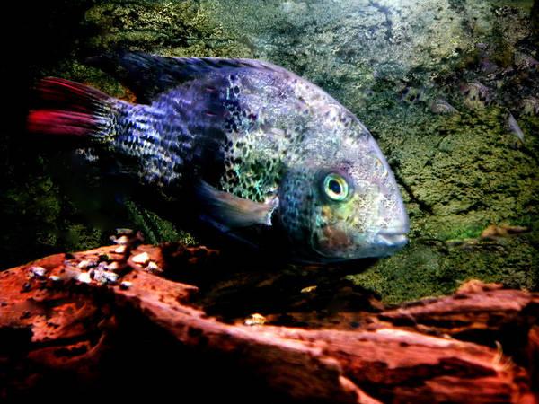 Photograph - 1 Fish Living In Denmark by Colette V Hera  Guggenheim