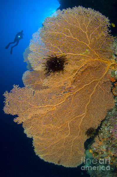 Photograph - A Diver Looks On At Large Gorgonian Sea by Steve Jones