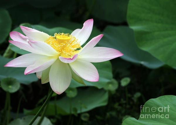 Photograph - A Pink Tipped White Lotus by Sabrina L Ryan