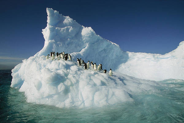 Photograph - Adelie Penguin Pygoscelis Adeliae Group by Colin Monteath
