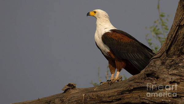 Photograph - African Fish Eagle by Mareko Marciniak