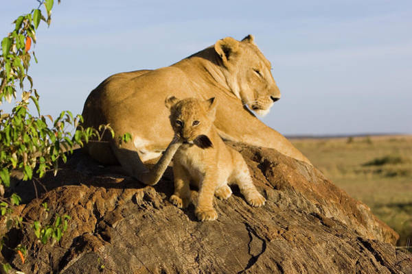 Photograph - African Lion Panthera Leo Seven by Suzi Eszterhas