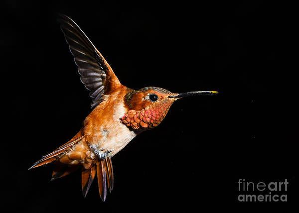 Selasphorus Photograph - Allen's Hummingbird by Carl Jackson