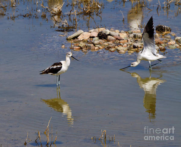 Wall Art - Photograph - American Avocets by Louise Heusinkveld