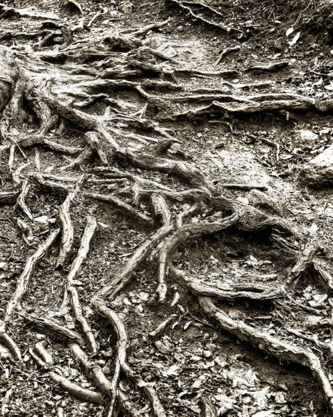 Photograph - An Old Tree's Roots by Dennis Dame
