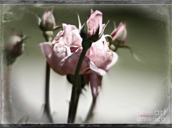 Photograph - Antique Rose 3 by Donna Bentley