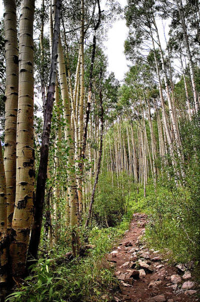 Photograph - Aspen Forest by Endre Balogh