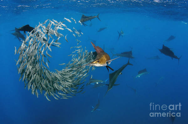 Bait Ball Photograph - Atlantic Sailfish Istiophorus Albicans by Pete Oxford