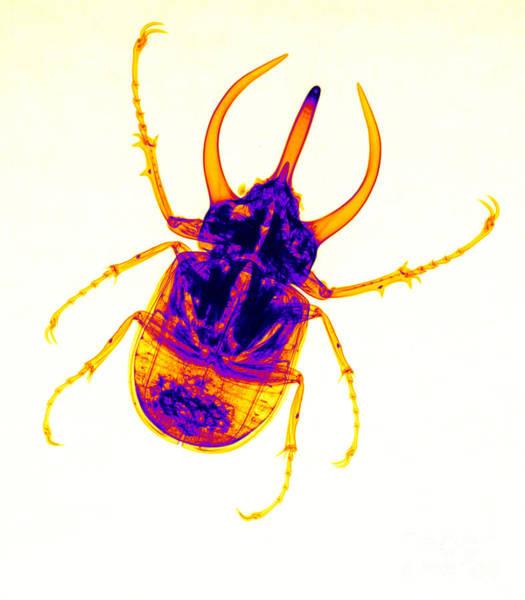 Photograph - Atlas Beetle X-ray by Ted Kinsman