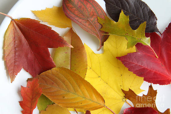 Photograph - Autumn Leaves by Photo Researchers