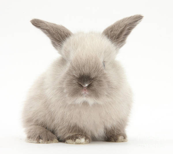 Photograph - Baby Colorpoint Rabbit by Mark Taylor