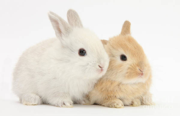 Photograph - Baby Lop Rabbits by Mark Taylor