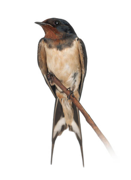 Wall Art - Photograph - Barn Swallow Perched On A Branch - Hirundo Rustica by Life On White