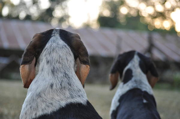 Wall Art - Photograph - Beagle by Tammy Price