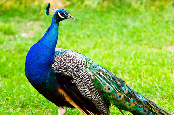 Photograph - Beautiful And Pride Peacock On A Lawn by U Schade