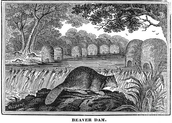 Photograph - Beaver by Granger