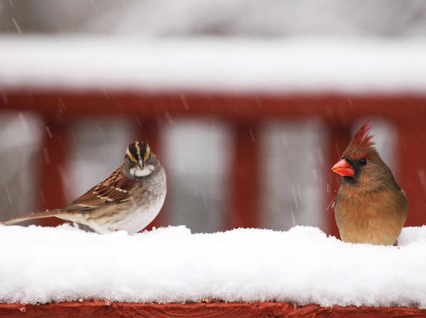 Photograph - Birds In The Snow by Sheila Kay McIntyre