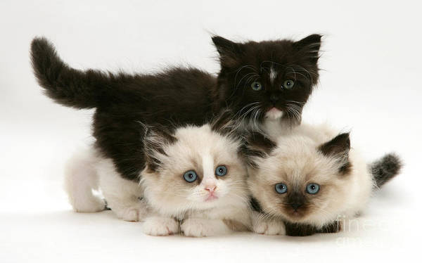 Photograph - Birman-persian Kittens by Jane Burton