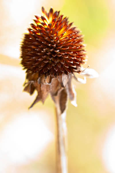 Photograph - Black-eyed Susan After The Winter by  Onyonet  Photo Studios
