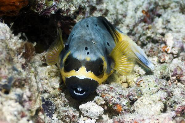 Balloonfish Photograph - Blackspotted Puffer by Georgette Douwma