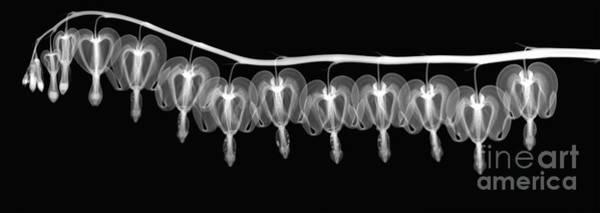 Photograph - Bleeding Heart Flowers X-ray by Ted Kinsman