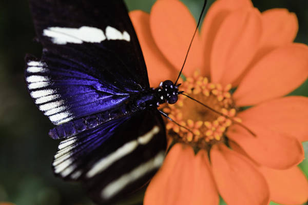 Photograph - Blue And White Longwing by Perla Copernik