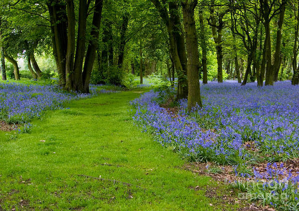 Photograph - Bluebell Woods by Brian Roscorla