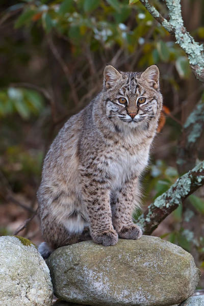 Photograph - Bobcat by Dale J Martin