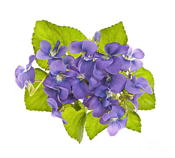 Photograph - Bouquet Of Violets by Elena Elisseeva