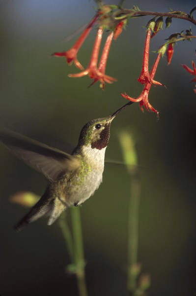 Broad-tailed Hummingbird Photograph - Broad Tailed Hummingbird Feeding by Tim Fitzharris