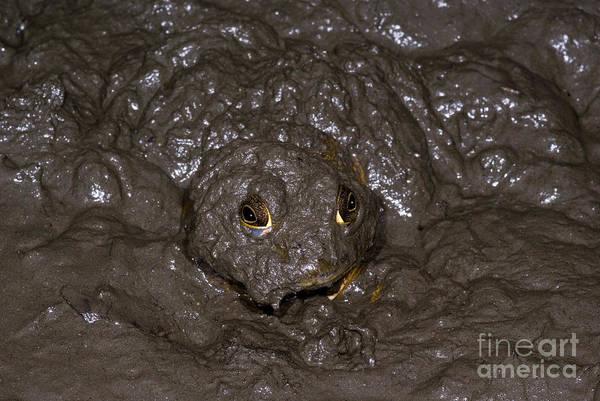 Bull Frog Photograph - Bullfrog by Dante Fenolio