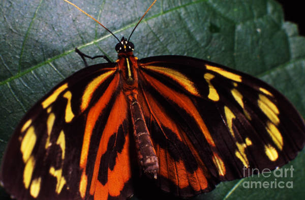 Photograph - Butterfly On Leaf by Thomas R Fletcher