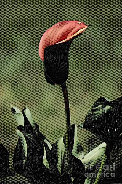 Photograph - Calla Lily by Donna Bentley