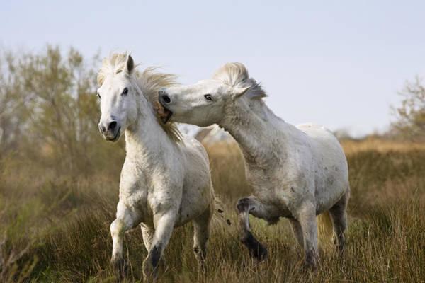 Photograph - Camargue Horse Equus Caballus Stallions by Konrad Wothe