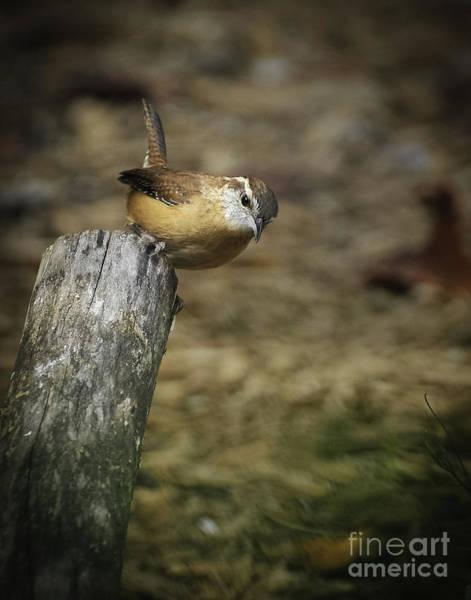 Photograph - Carolina Wren by David Waldrop