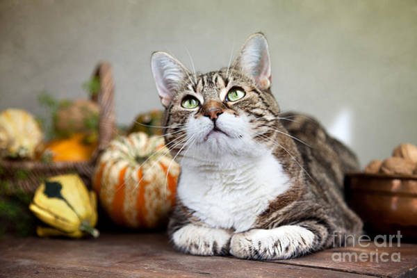 Brass Photograph - Cat And Pumpkins by Nailia Schwarz