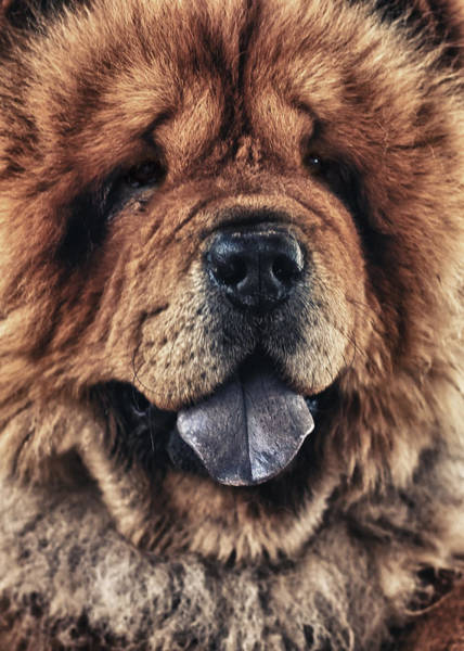 Wall Art - Photograph - Chow Chow  by Stelios Kleanthous