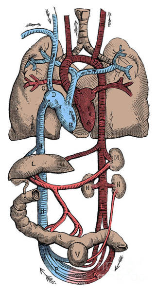 Photograph - Circulatory System by Science Source