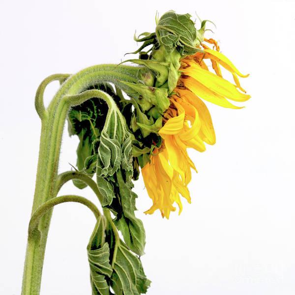 Wilt Photograph - Close Up Of Sunflower. by Bernard Jaubert