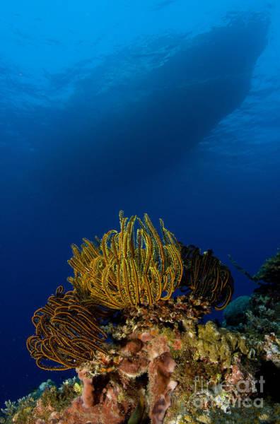 Photograph - Colony Of Crinoids, Papua New Guinea by Steve Jones
